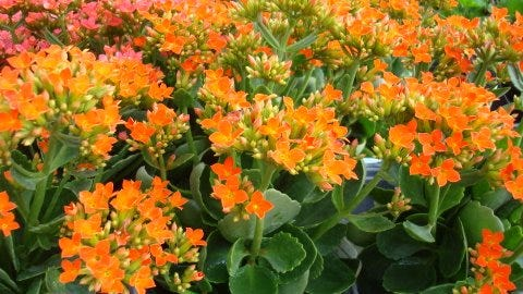 Plant kalanchoe this month in a sunny spit in your yard.