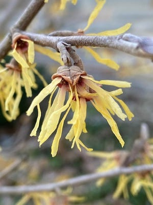 This close up of a Hamamelis family member reveals structure and attachment of witch hazel blooms. It is normal for them to open in winter during a short warm stretch.