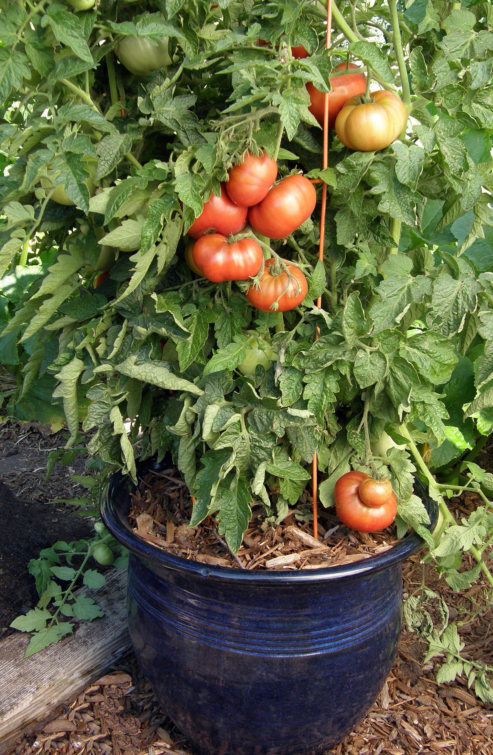 Tasmanian Chocolate Tomatoes