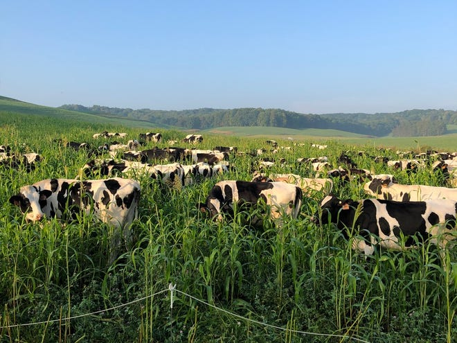 Sand County Foundationwill work with four Wisconsin farmers to demonstrate the conservation and economic benefits of rotational grazing livestock on cover crops.