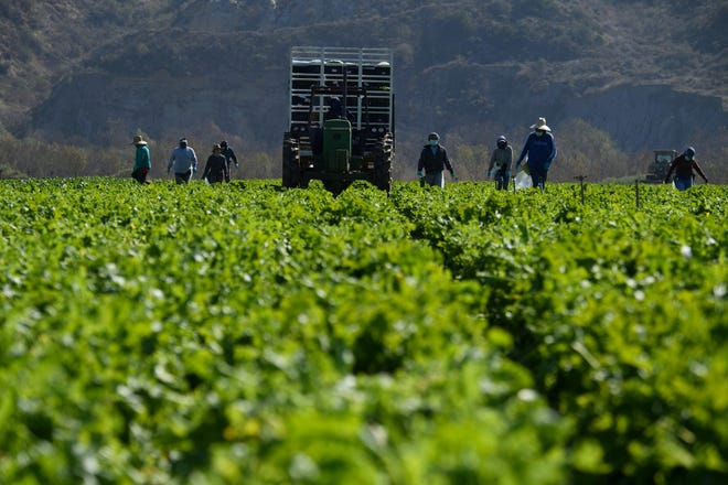 Farmworkers wear face masks while harvesting curly mustard in a field on February 10, 2021, in Ventura County, California.