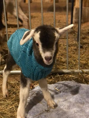 Toggenburg kid Solstice two hours after being born after the Carl Sandburg Home on March 3.