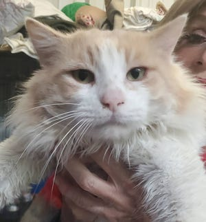 King Tut is a 3-year-old male. He is very sweet and enjoys spending time in the sun to nap. He loves attention. He is neutered, microchipped and litterbox trained. To adopt King Tut call the Erath County Humane Society at (254) 965-3247.