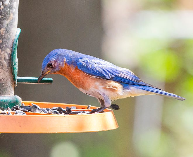 While diminutive, Eastern Bluebirds' vibrant color makes them unmistakable in a pasture or backyard.