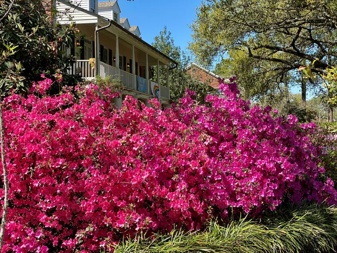 Azaleas are in full bloom despite the hard freezes experienced in February.