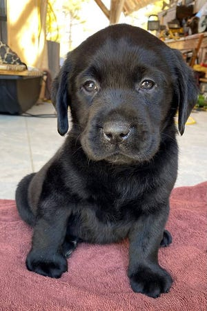 Help name this puppy, who is joining the Middlesex District Attorney's Office next month as an emotional support dog.