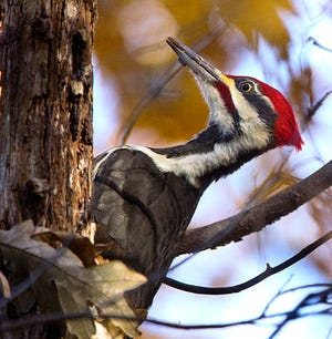 A red-headed pileated woodpecker hacked away at a tree in Weston in 2018.