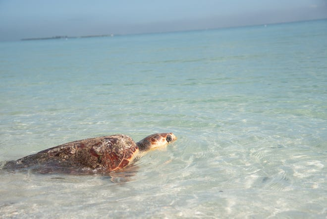 A loggerhead sea turtle makes her way into the Gulf waters off Anna Maria Island in March after being released by Mote Marine Laboratory & Aquarium staff.