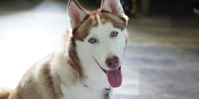 Maya, a 2-year-old Husky, had a close encounter with a pair of coyotes in her family's Colerain Township yard.