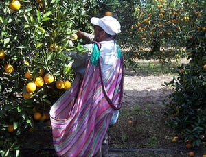 A worker harvests oranges in central Florida.