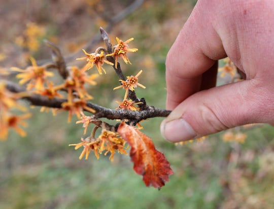 Keep Indianapolis Beautiful Director of Native Landscapes Ethan Olson shows Witch Hazel which is starting to flower Tuesday, March 16, 2021 at the KIB offices in Indianapolis. The plant is a native Indiana plant.