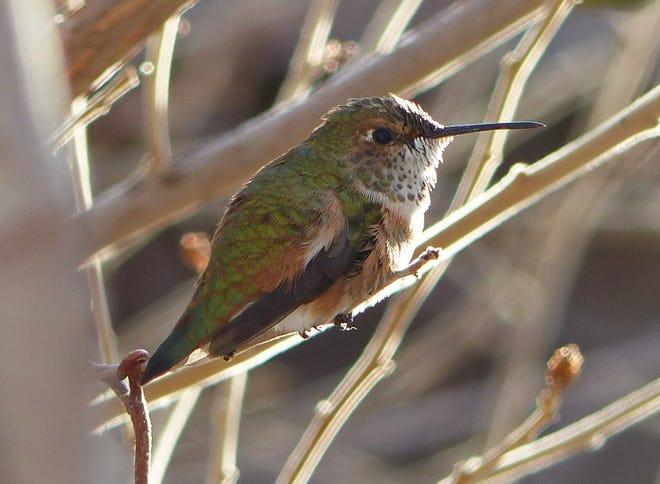 A wintering female rufous hummingbird rests between feedings.