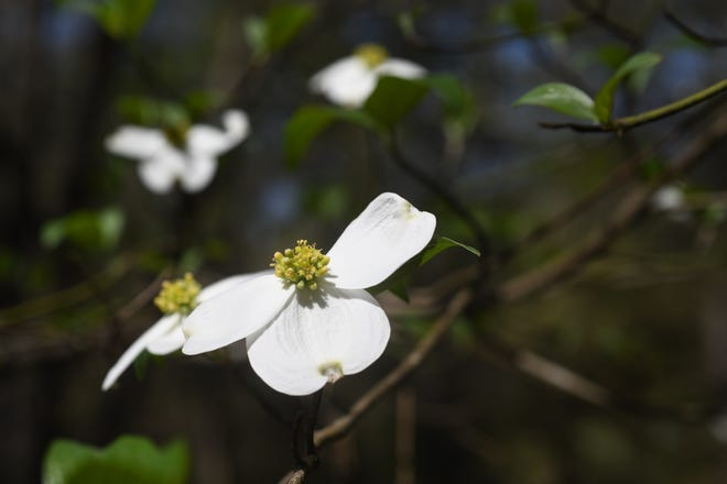 Dogwood blooms are showing up all over Leon County. This native tree punctuates the pale green of new leaves with a blast of white.