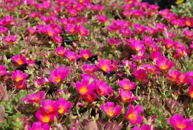 Purslane flowers are garden showstoppers and a long-time favorite of Florida gardeners for coastal gardens. Great uses include hanging over walls, as a groundcover in sunny spots, and hanging baskets. Full sun is an absolute requirement for both decent growth and flowering. The flowers only open in bright sun and close at night or on cloudy days. Purslane is exceedingly drought and salt-tolerant. However, flowering and growth are better when the plant receives occasional watering during droughty weather.