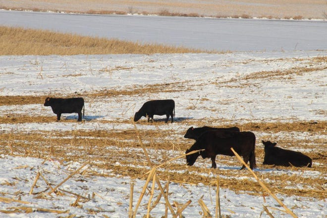 Beef cattle graze on corn stalks during the winter.