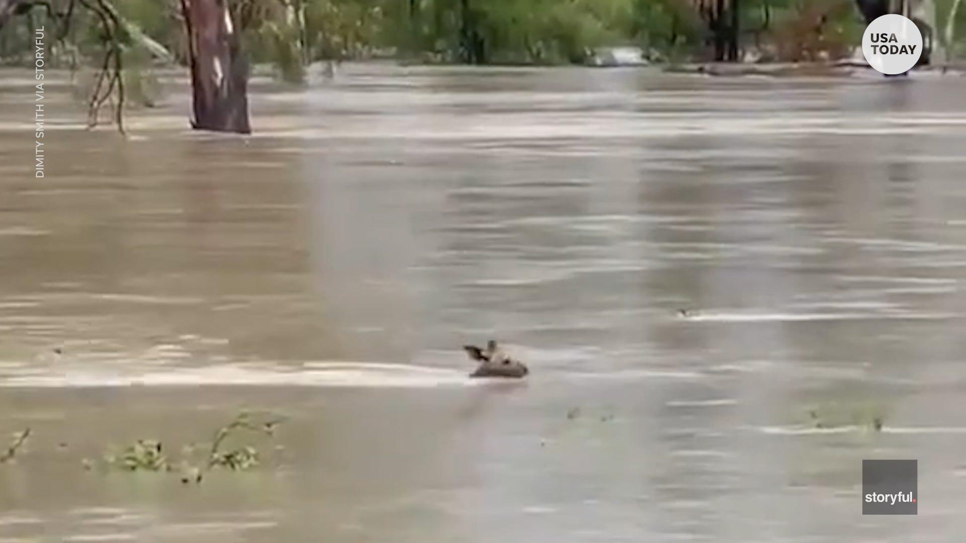 This kangaroo was spotted swimming through treacherous flood waters in Australia