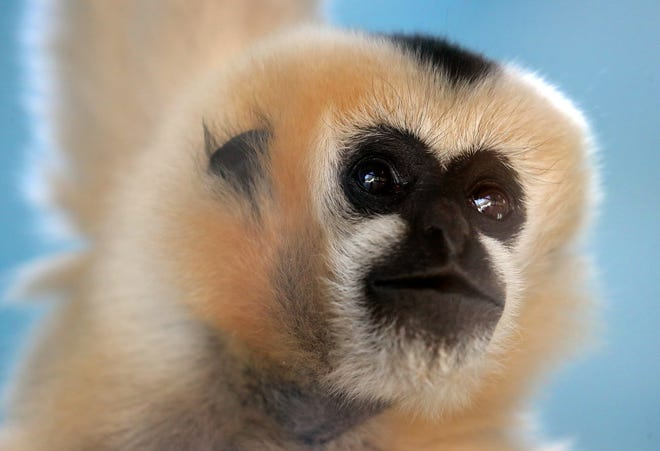 Parker, a white-cheeked gibbon at the Akron Zoo, looks out her enclosure window Wednesday.