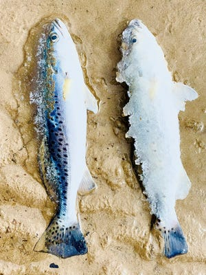 Last month's historic freeze left millions of baitfish and game fish dead in saltwater locations along Texas' lengthy coastline, including spotted sea trout in the upper and lower Laguna Madre regions between Corpus Christi and Brownsville.