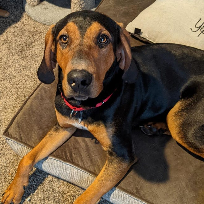 """Duke — also known as the """"Duke of Hazard"""" — is currently being fostered through Harbor Humane Society. The seven-month-old coonhound mix is looking for his forever home."""