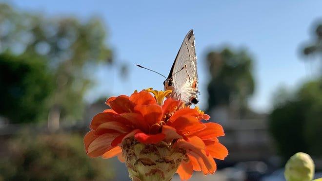 A gray hairstreak butterfly on zinnia.