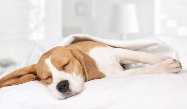 Out of approximately 60 million dogs in the U.S., about 60%sleep in bed with their humans, according to a study by the Centers for Disease Control and Prevention.