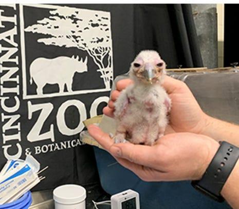 Ori, the new owl chick at the Cincinnati Zoo