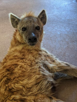 Huckleberry, a 27-year-old hyena at the Phoenix Zoo described as shattering conniving myths about hyenas, was euthanized Friday due to declining health.