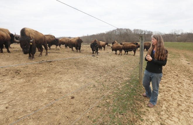 Carie Star talks about raising bison at The Cherokee Valley Bison Ranch in Thornville. The hearty animals, often thought of as residents of the great plains, also once lived in Ohio.