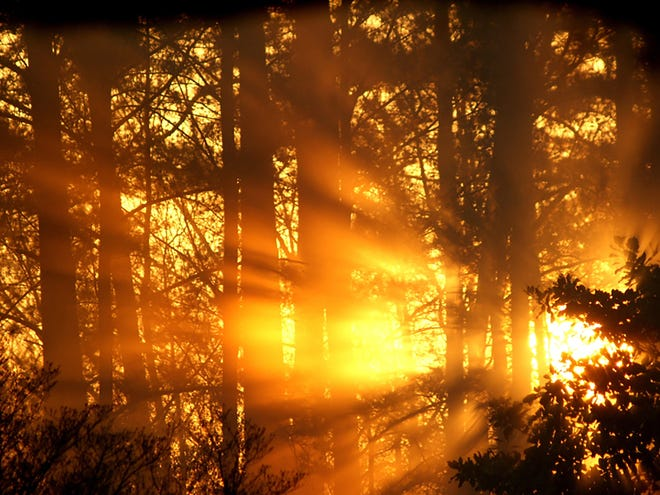 The sun rising through the pines spreads its rays.