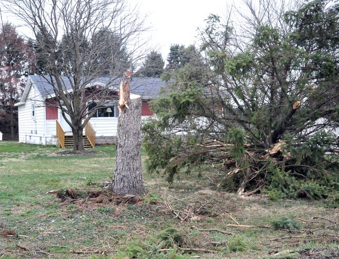 This spruce tree fell during Friday's high winds near Smithville, knocking out electric to a house.