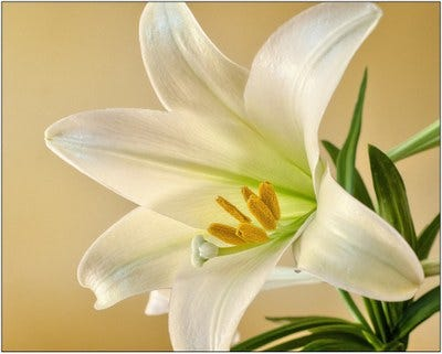 Whenbuying an Easter lily, look for plants that have just one or two of the flowers open, and several closed buds on the stem, along with plenty of healthy green foliage.