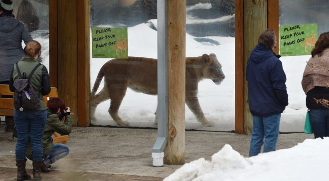 Visitors watch an African lion at the Erie Zoo on the opening day of the season, Feb. 27, in Erie.