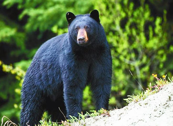 MDC announces the state's first black-bear hunting season is slated for this coming fall, Oct. 18–27. It will be limited to Missouri residents and restrict bear hunting to designated areas of southern Missouri.