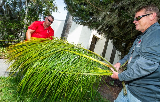 Blessed Trinity Catholic Church maintenance crew members Tom Nelson, left, and Tim Daly, right, gather freshly cut palm fronds on Friday in preparation for Palm Sunday Mass. Palm Sunday commemorates the entrance of Jesus into Jerusalem, when palm branches were placed in his path, before his arrest on Holy Thursday and his crucifixion on Good Friday.