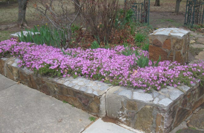 Creeping Phlox, not bothered by the cold, brightens Rose Garden Park entrance.