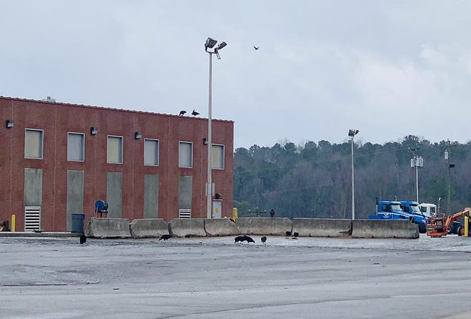 Columnist John F. Floyd observed these turkey vultures at the Valley Proteins rendering plant in Gastonia, North Carolina.