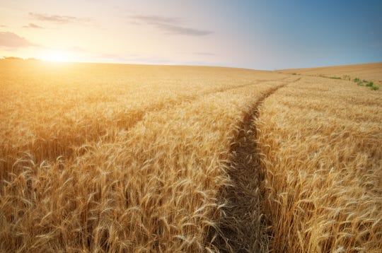 Road through wheat field. Landscape nature composition.