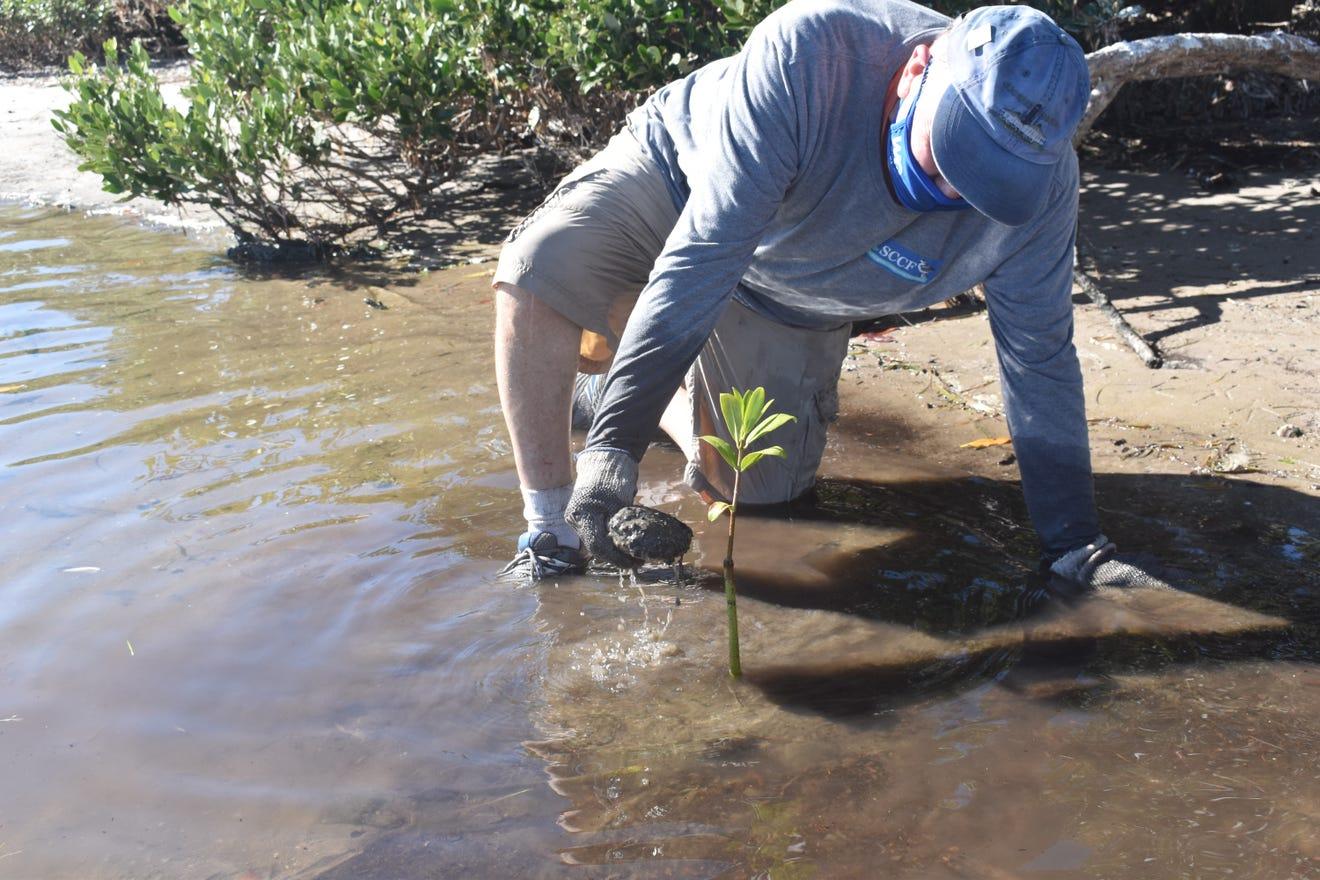 mangrove-replanting