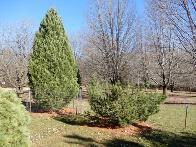 In November, thieves cut off and removed the top of a rare species of pine tree at the University of Wisconsin Arboretum. Three UW students who said they took the tree while pledging a fraternity were recently cited for theft.