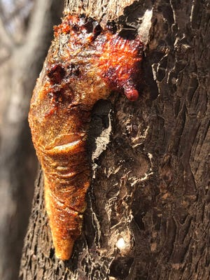 Reddish sap oozing from a plum tree at Bachechi Open Space in Albuquerque in  March 2021.