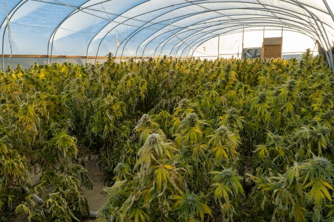 Rows of cannabis jam a greenhouse — not yet raided — in Cudei, south of Shiprock.