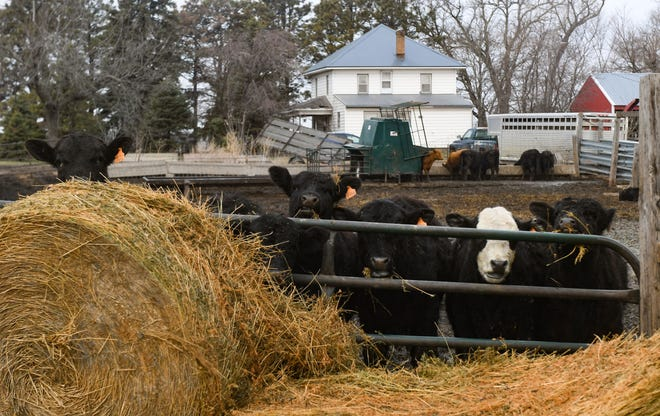 Cattle peer through a gate on Friday, March 26, 2021 on a farm in Dell Rapids.