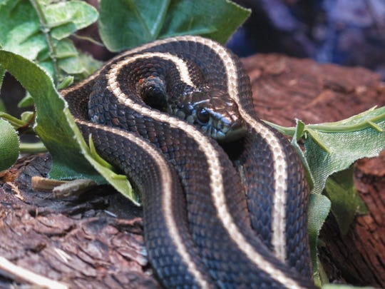 Garter snakes are important animals to have around because they eat pests such as slugs and rodents.