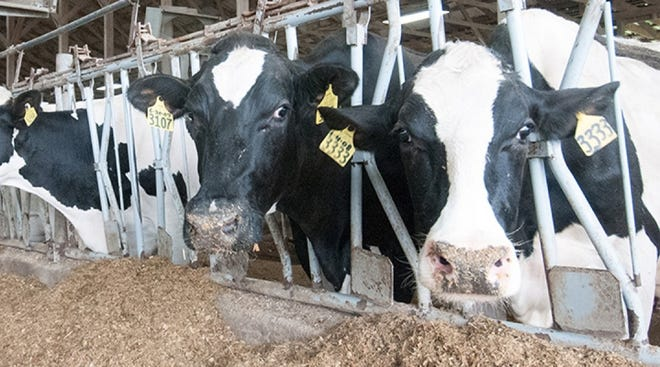 The animal disease traceability regulations apply to sexually intact beef animals over 18 months of age moving in interstate commerce, cattle used for exhibition, rodeo and recreational events, and all dairy cattle.