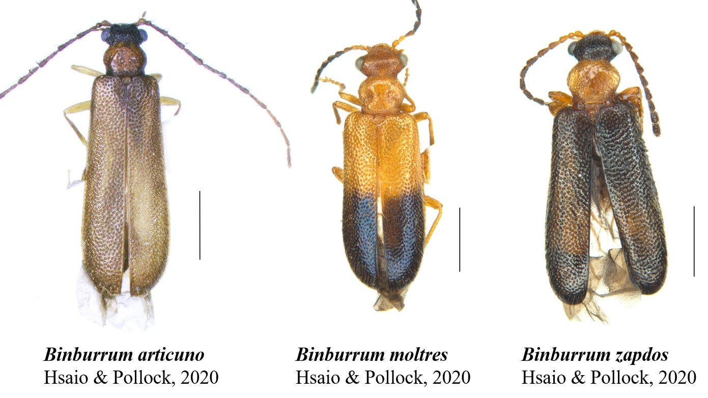 These three Australian beetles are hard to find. So two researchers named them after Pokémon.