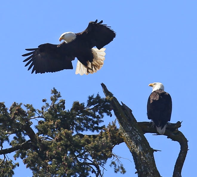 A pair of American bald eagles roost in a tree in north Eugene.
