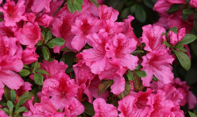 This year's N.C. Azalea Festival will have plenty of blooming azaleas, but the 74th annual event will be very different in 2021 due to the pandemic.