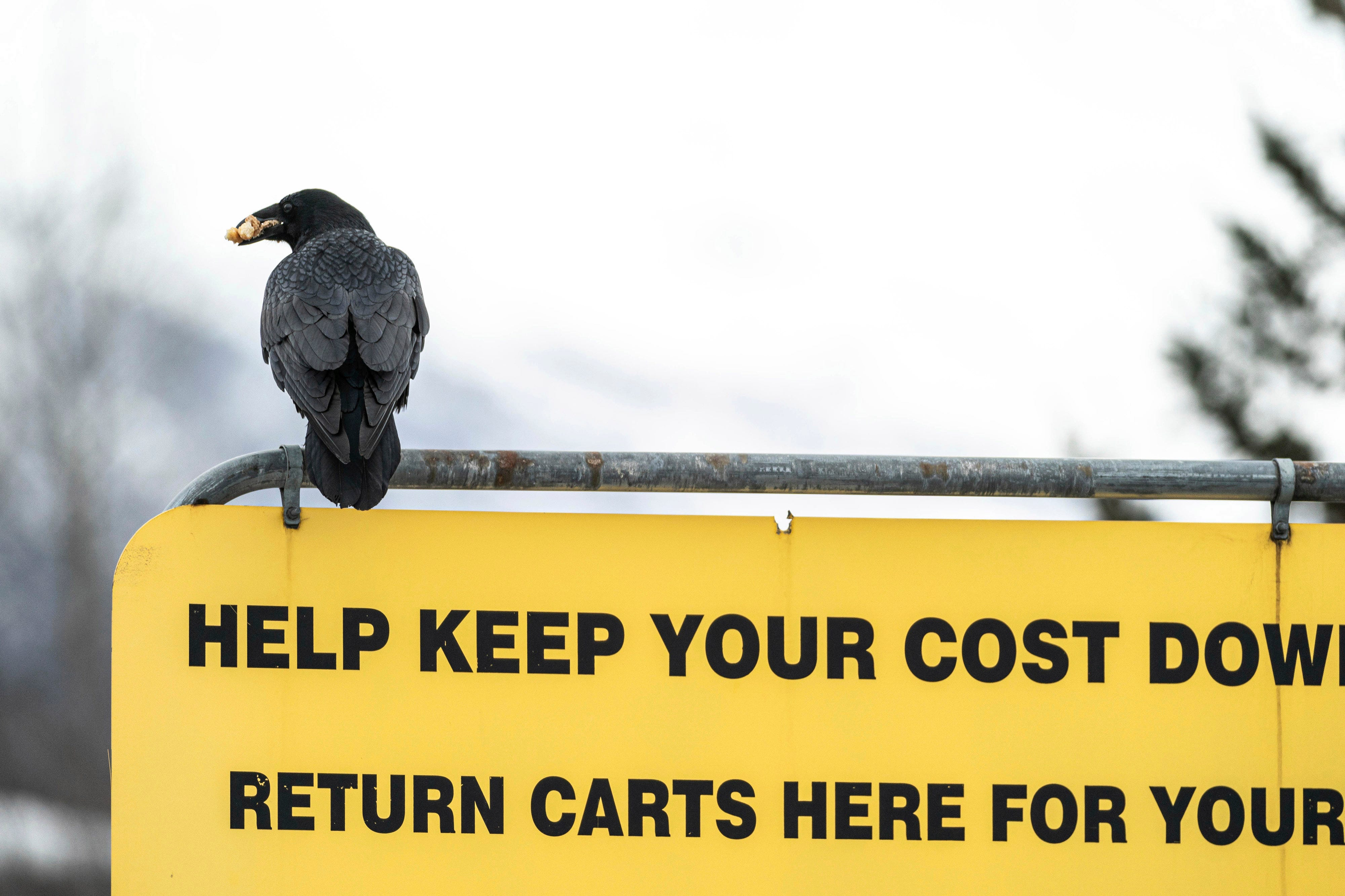 Some Alaska Costco shoppers say ravens steal their groceries 1