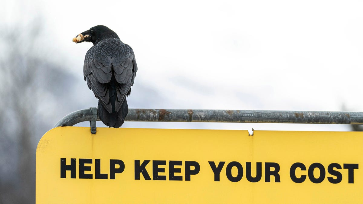 Some Alaska Costco shoppers say ravens steal their groceries 2