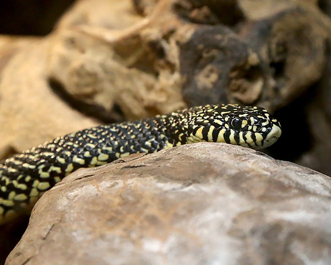 A Speckled Kingsnake is seen on display, Saturday, March 27, at the Janet Huckabee Arkansas River Valley Nature Center in Chaffee Crossing.